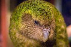 Finally sharing the story of a very special bird, the kakapo New Zealand and getting to meet Sirocco, the spokesbird. Win a trip to Codfish Island. Flightless Parrot, Budgies, Parrots, Weird Birds, Nocturnal Birds, Win A Trip, Beautiful Birds, New Zealand, Codfish