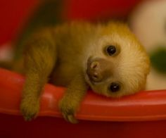 sloth baby, i want to snuggle him...