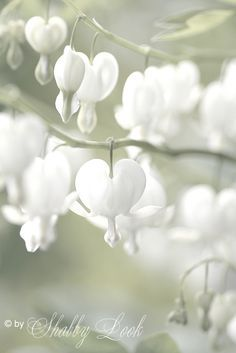White Bleeding Heart - never knew they existed other than red ones. Gorgeous!