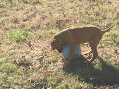 Another beautiful Rhodesian Ridgeback puppy at ApacheRidge Ranch in Oakville, Washington. He loves to play!