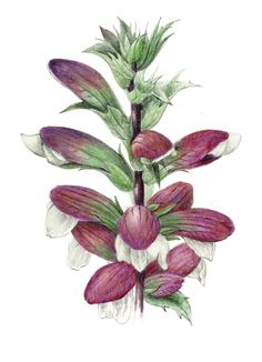 Acanthus - Collection of botanical illustrations of flowers by Wendy Hollender.