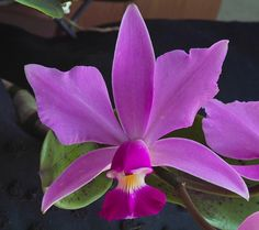 First flowering ever for this Violacea I bought here Orchid Flowers, Orchid Care, Beautiful Flowers, Flower Backgrounds, Colorful Birds, Shiva, Simply Beautiful, Houseplants, Planting Flowers