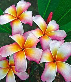 Frangipani 'Rainbow Star'