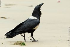 Corbeau pie - Corvus albus