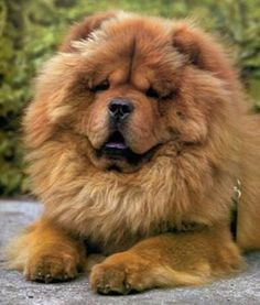 Must see Chow Chow Chubby Adorable Dog - 279b4017e881b8f60bce1f52eb15cfca--a-lion-chow-chow-dogs  Image_34182  .jpg
