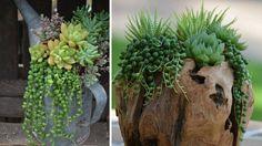 Senecon rowley succulentes