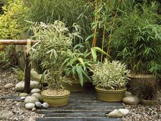 Japanese Garden in Containers: Plant the Bamboos  Place broken clay pot pieces in the base of a pot and add a layer of soil. Water the bamboo, remove it from its pot and set in the center of the container. Fill in around it with soil and some fertilizer. Firm in and water. Bamboos are thirsty, so water often. Since they grow vigorously, lift, divide and repot them in new soil every three or four years.