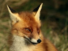 The Sly Fox by Ed kamstra - Photo 133642047 - 500px