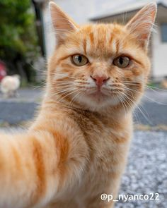 Ginger Cats, Filters, Animals, Selfie Selfie, Instagram, Fashion, Moda, Animales, Animaux