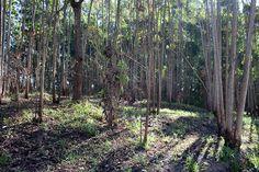 Eucaliptos Margem da Avenida Curuputuba, Pindamonhangaba/SP. Foto: Rogério de Moura