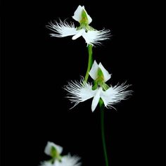 Favorable 200pcs Japanese Egret Flowers Seeds White Egret Orchid Seeds Radiata Rare White Orchid Home Garden - NewChic Mobile