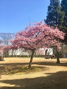 tour leader Matthew caught this wonderful cherry blossom at Hakone Open-Air Museum in Japan Hakone Japan, Cherry Blossom Season, Japan Japan, Outdoor Sculpture, Fuji, Countryside, Museum, Tours, Park