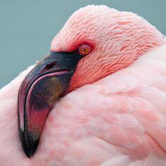 Flamingo at Slimbridge Wildfowl & Wetlands Trust (by Steve Liptrot Photography) Pretty Birds, Beautiful Birds, Animals Beautiful, Pretty In Pink, Cute Animals, Flamingo Art, Pink Flamingos, Flamingo Pictures, Greater Flamingo