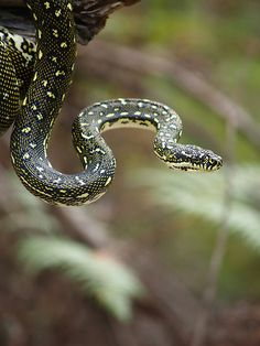 Diamond Python (Morelia spilota spilota)