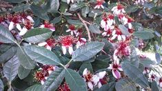 Feijoa plant and seeds at Pangaiaseeds.com | Find Quality Seeds at pangaiaseeds.com Seeds, Garden, Flowers, Plants, Garten, Florals, Gardens, Planters, Flower