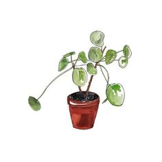 Good objects * interior design * edition - The next trendy plant : Pilea peperomioides  watercolor illustration