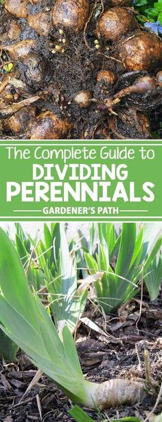 Perennials provide long-lasting garden beauty. To get the best performance and value from these landscape stalwarts, the simple task of plant division serves many purposes. Learn more about the plant health, garden design, and budget-boosting benefits of