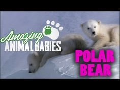 Cool Cute Cubs - Amazing Animal Babies: Polar Bear Cubs - Earth Unplugged - BBC so freaking cute Penguins And Polar Bears, Baby Polar Bears, Artic Animals, Baby Animals, Bbc, Art Inuit, Polo Norte, Amazing Animals, Bear Theme
