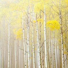 Aspens in Fog -             Fotobehang & Behang -           Photowall