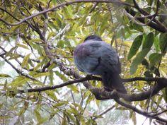 New Zealand Wood Pigeon (Kereru) Totara Park -- Manurewa -- Auckland -- New Zealand -- 20th February 2014