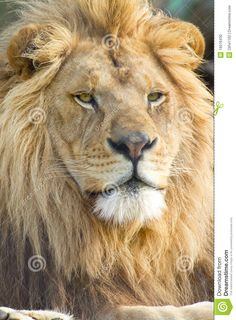 Male African Lion Face - Download From Over 48 Million High Quality Stock Photos, Images, Vectors. Sign up for FREE today. Image: 19516430