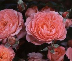 Pink Abundance - http://www.heirloomroses.com