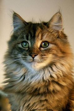 Best of Tabby Cats pictures: Cute Cats And Kittens, Cool Cats, Kittens Cutest, Pretty Cats, Beautiful Cats, Pretty Kitty, Animals And Pets, Cute Animals, Siberian Cat