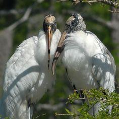 Wood Stork Wood Stork  Mycteria americana   Fairly common summer and fall visitor.