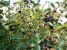 Čučoriedkový lekvár (fotorecept) Fruit, Plants, Food, Essen, Meals, Plant, Yemek, Eten, Planets