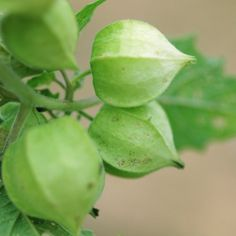 Growing Ground Cherries Mulch lightly to suppress weeds and conserve soil moisture. Ground cherries thrive best with 2 inches of water per week. Spray the plants with diluted fish fertilizer when they set flowers and again two weeks later.