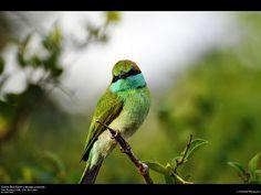 GreenBee-Eater (Merops orientalis), Yala National Park, Sri Lanka (www.secretlanka.com)