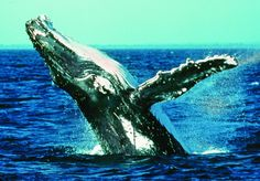 The magnificent humpback whales travel through Hervey Bay waters every year nurturing, teaching and playing with their young.....a sweet serenity surrounds their awe inspiring grace.