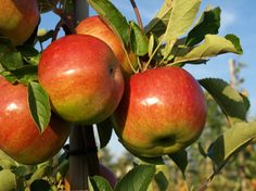 Specialty Fruit Varieties for Small Orchards John Vivian lists a number of specialty fruit varieties for small orchards, including apples, pears and stone fruits   from Mother Earth News.