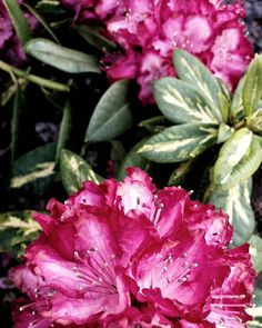 Rhododendrons in techicolour.