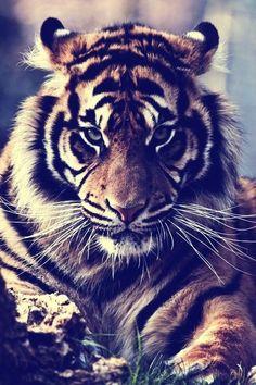 #tiger #bengal #cat