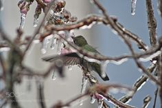 Ice Bird by LeonardoLandrum #animals #animal #pet #pets #animales #animallovers #photooftheday #amazing #picoftheday