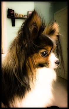Some Helpful Ideas For Training Your Dog. Loving your dog does not mean you are willing to let him go hog wild on your possessions. That said, your dog doesn't feel the same way. Perro Papillon, Papillion Dog, Cute Puppies, Cute Dogs, Dogs And Puppies, Pomchi Puppies, Puppys, Animals Beautiful, Cute Animals