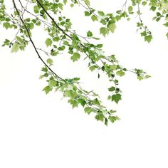 Minimal branch