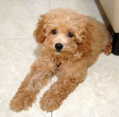 Poodle with a teddy bear hair cut! probably the only small dog i would get!