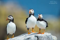 Photo Puffins by J. Uriarte on 500px