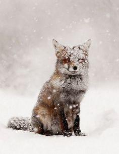 Snow Fox :: House of Valentina