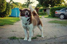 Greenland Dog / Husky
