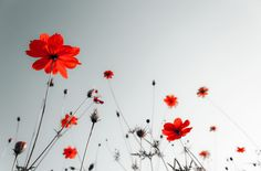These are the Red Poppy Flower wallpaper. This is a flower wallpaper thread. Poppy wallpaper is my favorite wallpaper. White Background Wallpaper, Red And Black Background, Photo Wallpaper, Flower Wallpaper, Hd Wallpaper, White Backgrounds, Wallpapers, Windows Wallpaper, Black Wallpaper