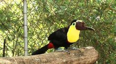 The donation by Playa Nicuesa Rainforest Lodge of a toucan beak found in the jungle will help create a prosthetic beak for injured toucan Grecia in Costa Rica..