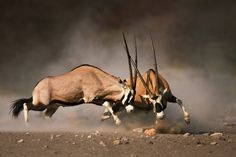 Photographic Print: Intense Fight between Two Male Gemsbok on Dusty Plains of Etosha by Johan Swanepoel : Animals With Horns, Animals And Pets, Cute Animals, Wild Animals, Wildlife Paintings, Wildlife Art, Wildlife Decor, Animal 2, Mundo Animal