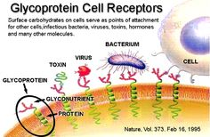 Glyconutrients - Glycoproteins