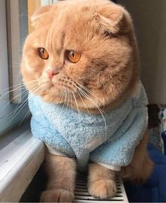 Kitty in a sweater Cute Kittens, Cute Baby Cats, Cute Funny Animals, Cute Baby Animals, Cute Dogs, Pretty Cats, Beautiful Cats, Scottish Fold Kittens, Brown Cat
