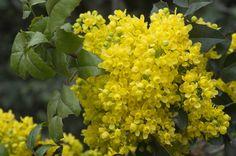 Flowers Mahonia aquifolia/ Цветок Магонии Падуболистной / Магония падуболистная