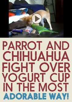 Parrot and Chihuahua fight over a yogurt cup in the most adorable way!!