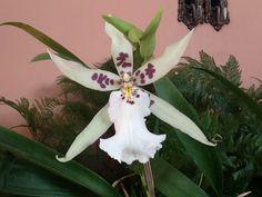 Minha orquídea!!!! Miltonia